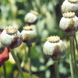 Photo: Afghan Opium