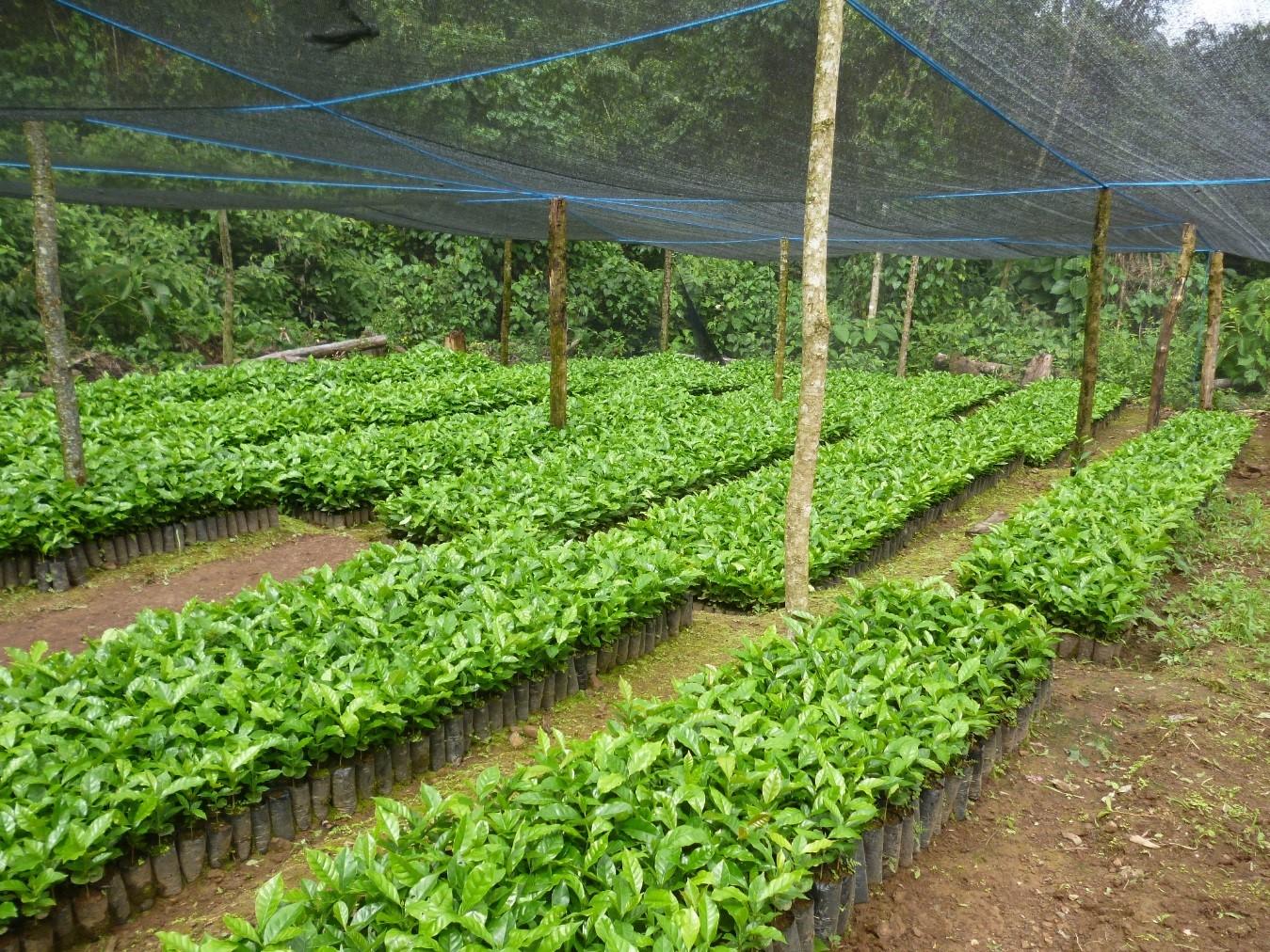 Unodc promueve la producci n de material vegetal en la asunta for Vivero de cafe pdf