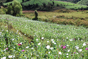 Poppy field in Shan State, Northern Myanmar; Photo: UNODC