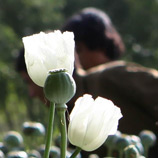 Opium Poppy farmers, Helmand province, Afghanistan. Photo: Resolute Support Media.