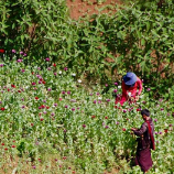 Myanmar: opium cultivation down 25 per cent, but conflict areas remain 'safe haven' for drug traders. Photo: UNODC