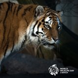 On World Wildlife Day, UN joins call for protection of planet's big cats